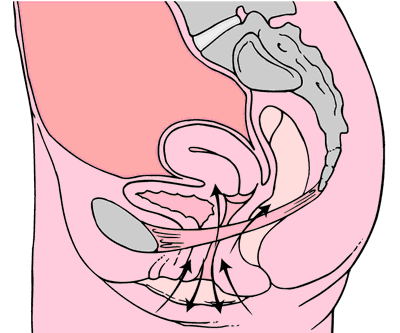 Kegel_exercises_diagram.png